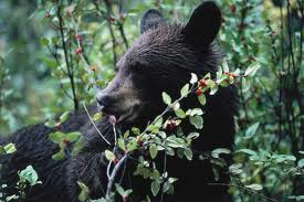 Black Bears – Small, Timid and Wild