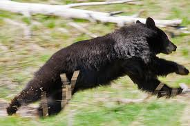 Black Bear Running Image