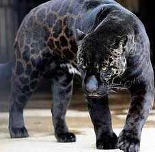 Wonderful Black Jaguar Image
