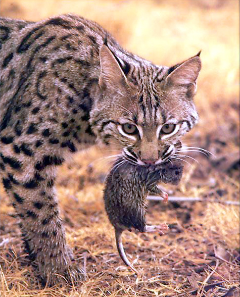 Bobcat Eating a Rat Image