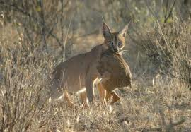 Caracal Catching its Prey Image