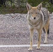 Coyotes – All You Need To Know