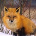 Foxes Quiz