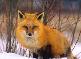 Fox in the Snow Image