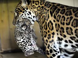 Nice Jaguar Mother And Her Cub Image