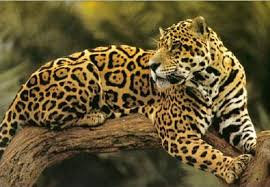 jaguar-on-a-tree-branch image