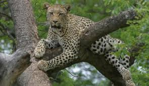 Leopard up in a Tree Image - Science for Kids All About Leopards