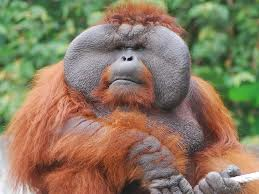 A Male Orangutan with Huge Flanges Image