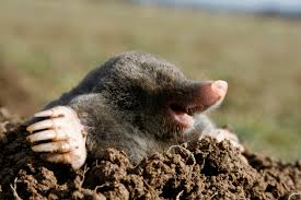 mole-digging-out-of-the-dirt image