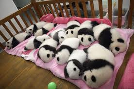 Blind Baby Pandas On A Blanket Giant Panda Image