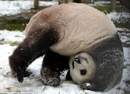 panda-do-somersaults.jpg (264×191)