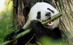 All About Giant Pandas – The Most Loved Bears