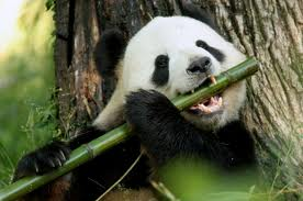giant-panda-eating-bamboo image