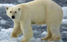 All About Polar Bears – The Biggest Bears