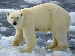 interesting facts about polar bears Archives - Easy Science For Kids