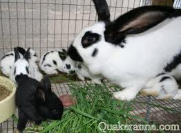Rabbit Babies with their Mother Image