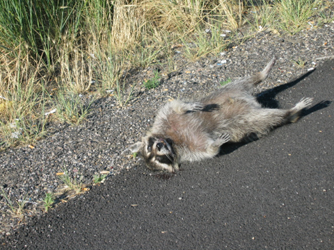 Raccoon Hit by a Car Image