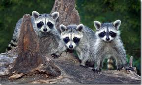 Kits, Raccoon Babies Image