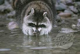 Raccoon Washing its Food Image
