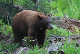 Red Black Bear Image