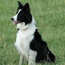 A Border Collie Sheep Dog Image - Science for Kids All About Sheep Dogs