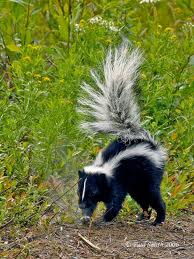 Skunk, a Small Predator Image - Science for Kids All About Small Predators and Scavengers