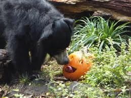 Sloth Bear Eating Squash Image
