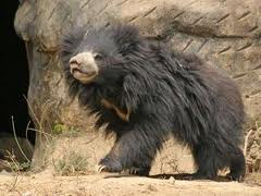 Shaggy Sloth Bear Hair Image