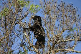 Sloth Bear Climbing a Tree Image