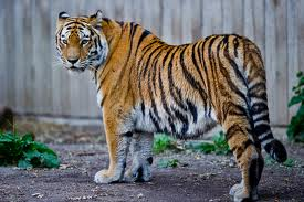 Tiger with Unique Stripes Image - Science for Kids All About Tigers
