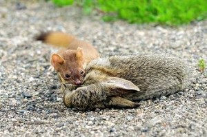 Weasel Eating a Rabbit Image