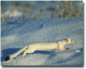 Small White Weasel in the Snow Image