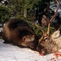 wolverine-eating-a-deer image