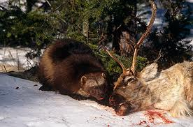Wolverine Eating a Deer Image