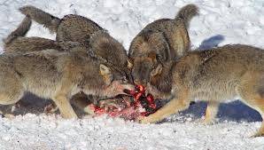 Pack of Wolves Eating Image