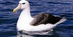 All About Albatross and Their Huge Wingspan