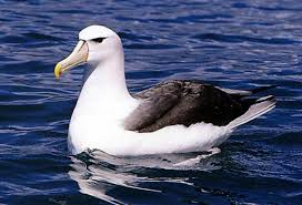 Albatross Floating on Water Image - Science for Kids All About Albatross