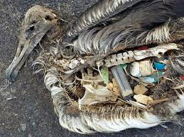 Dead Albatross Due to Eating Plastics Image