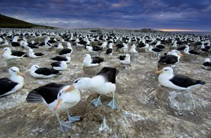A Colony of Albatrosses Mating Image