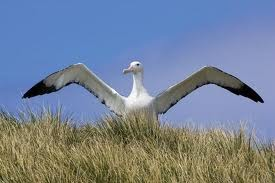 Albatrosses Spread Wings Image