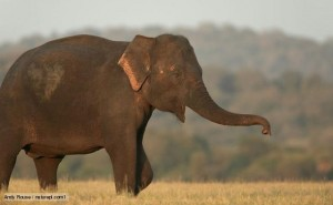 Adult Asian Elephants Walking Image