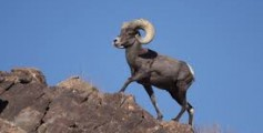 All About Bighorn Sheep