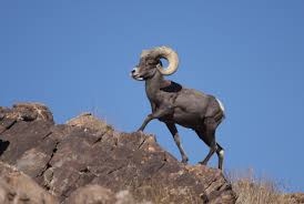 Bighorn Sheep – The Mountain Sheep