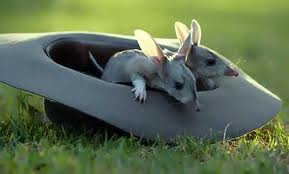 Two Bilbies in a Hat Image - Science for Kids All About Bilbies