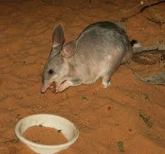 Bilby Eating Image