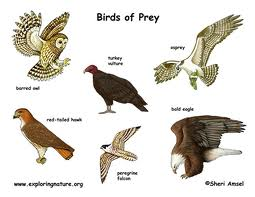 Kinds of Birds of Prey Image -  Science for Kids All About Birds of Prey