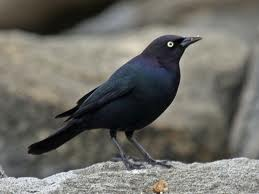 blackbird-on-a-rock image
