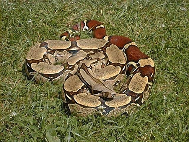 boa-constrictor-on-the-grass image