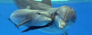 A Mother and Baby Bottlenose Dolphin swimming in the Water Image