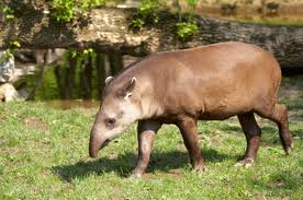 Brown Brazilian Tapir Image